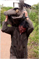 How to carry a 200 lb tortoise