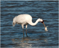 Whooping Crane and Blue Crab